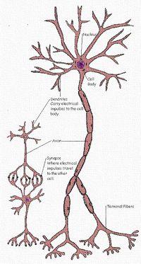 Tree.system.nerves